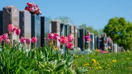 Cemetary with tulips