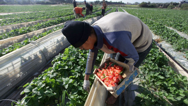Agriculture is one of the sectos concerned about access to EU migrant labour as farmers are dependent on thousands of seasonal workers  to pick crops.  APA images/REX/Shutterstock
