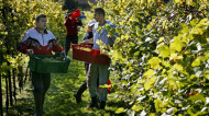 Seasonal agricultural workers would be able to enter the UK under the leaked visa policy Jason Alden/REX/Shutterstock