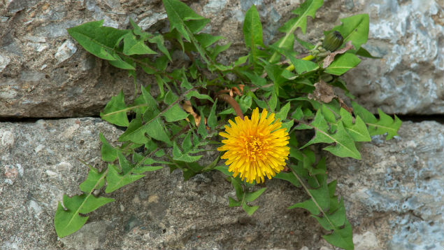 Can occupational health models can help the profession grow like a dandelion with the most minimal resources?
